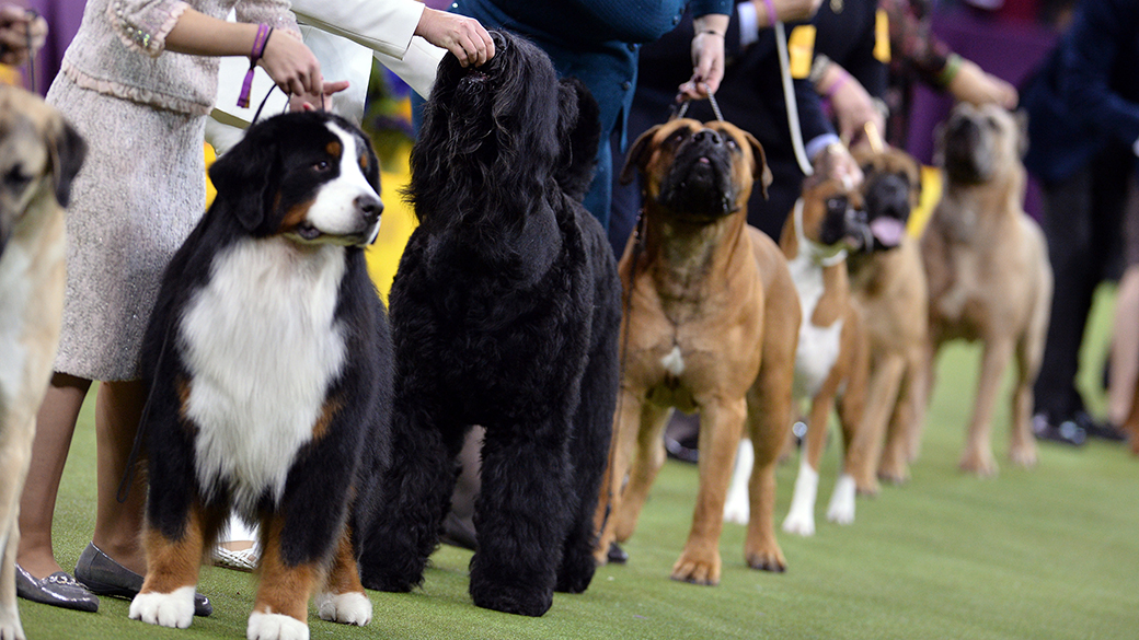 NEW YORK - FEBRUARY 12: Best of Show Judging at the 143rd Westminster Kennel Club Dog Show at Madison Square Garden on February 12, 2019 in New York City. (Photo by Anthony Behar/Fox Sports/PictureGroup)