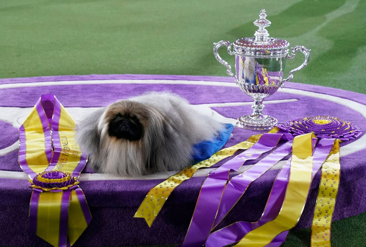 """Pekingese dog """"Wasabi"""" is seen with the trophy after winning Best in Show at the 145th Annual Westminster Kennel Club Dog Show June 13, 2021 at the Lyndhurst Estate in Tarrytown, New York. - Spectators are not allowed this year, apart from dog owners and handlers, because of safety protocols due to Covid-19. (Photo by TIMOTHY A. CLARY / AFP) (Photo by TIMOTHY A. CLARY/AFP via Getty Images)"""